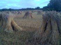 Wheat stooks